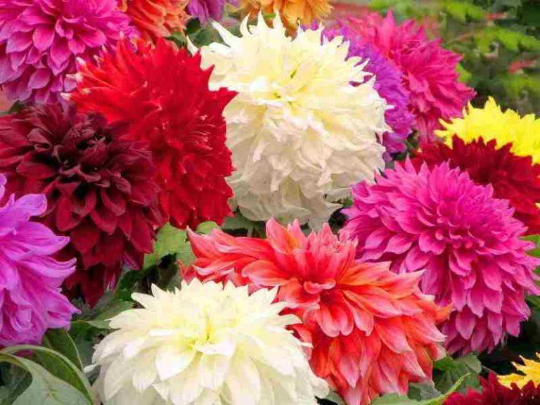 Бордюрные георгины являются сортом разновидности, только эти цветы являются низкорослыми