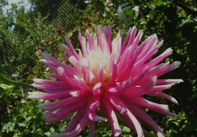 Цветы нетребовательны к составу почвы, но их нельзя сажать в заболоченных местах