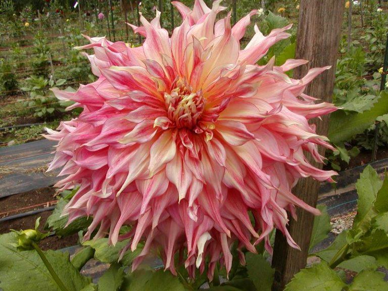 Георгина мингус — роскошный цветок и прекрасно смотрится на любой клумбе