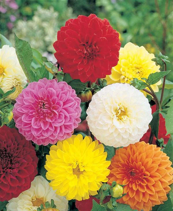 Почва для цветника готовится в меру плодородная и увлажненная