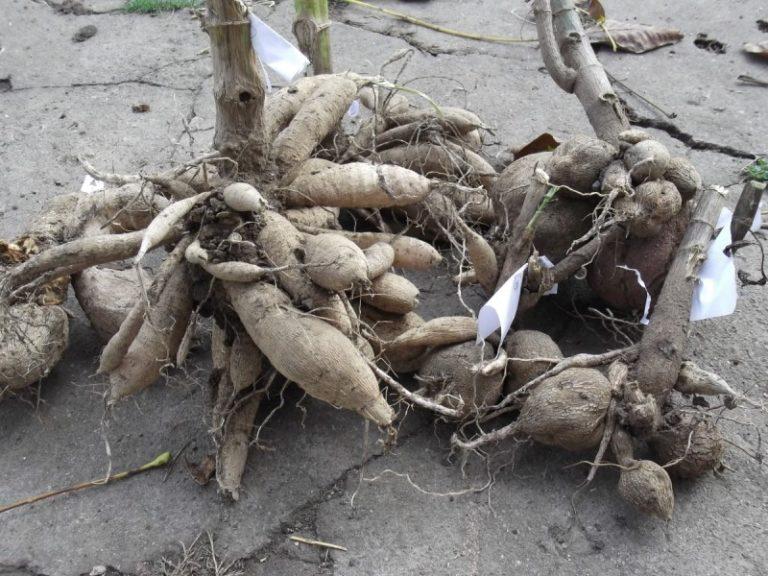 Черенкование георгин весной — это отличный способ не только получить дополнительный посадочный материал, но и омолодить старые корневища