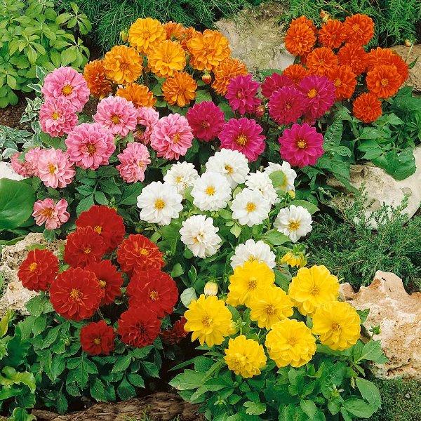 Цветок георгина Фигаро относится к однолетним низкорослым сортам