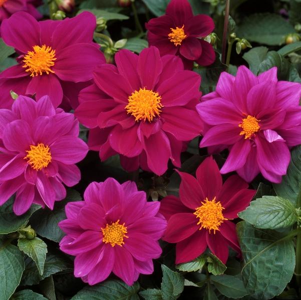 Отличительной чертой Фигаро является раннее цветение