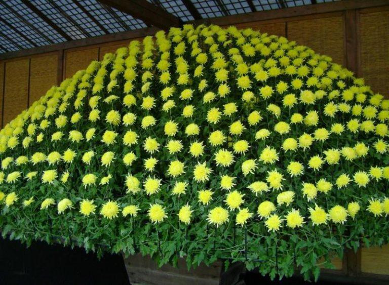 Хризантема считается самым ярким растением осени