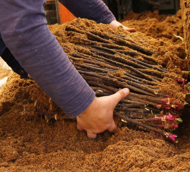 Разведение винограда черенками следует начать с их заготовки