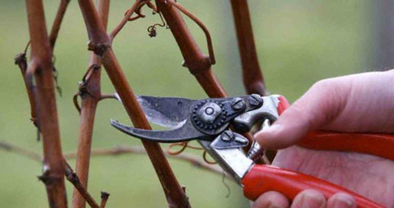 Заготавливать исходный материал нужно заблаговременно, желательно, во время чистки кустов осенью
