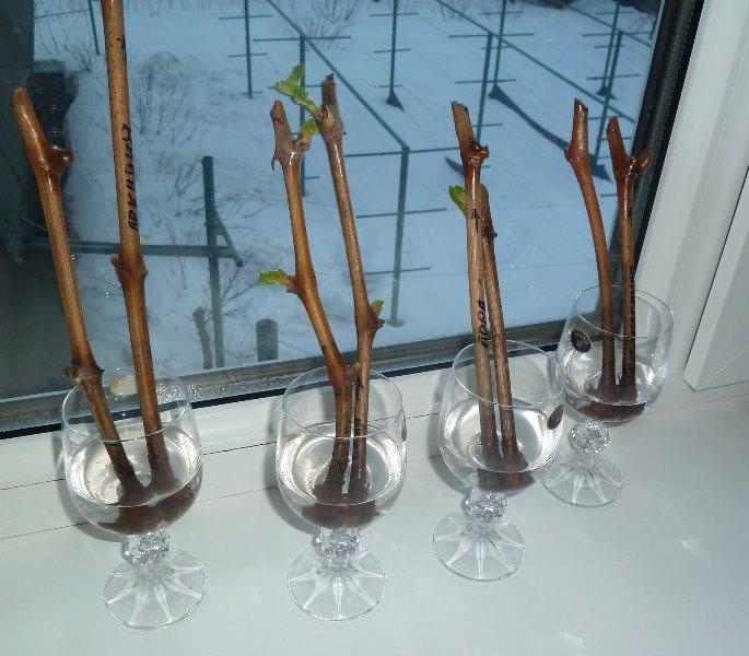 Размножение винограда черенками нужно осуществлять ранней весной, так как в этот период у растения только начинается естественное движение сока