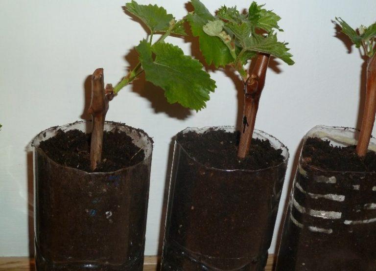 Размножение начинается с проращивания черенков в домашних условиях в пластиковом контейнере