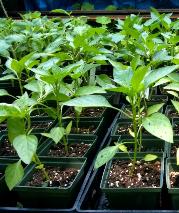 О рассаде перцев стоит позаботиться ранней весной