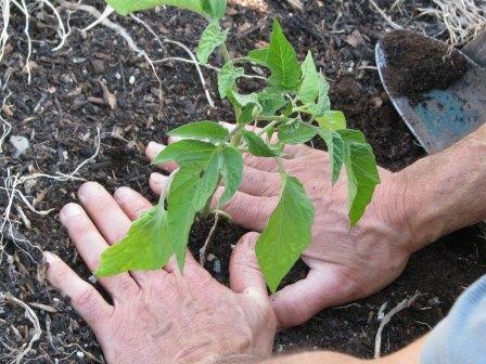 Посадка помидоров - один из наиболее важных этапов в агротехнике этой культуры