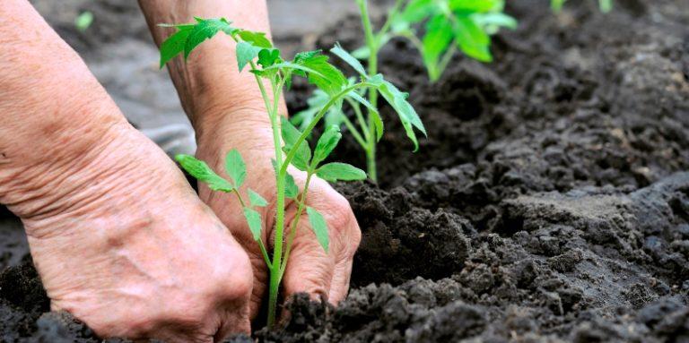 Когда высаживается среднерослый сорт помидоров, то расстояние между растениями должно составлять около 50-60 см