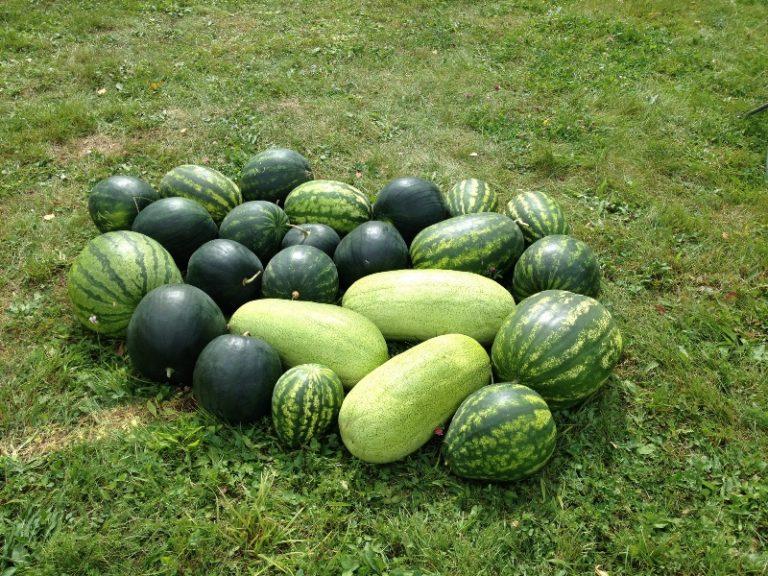 Правильный подбор сортов и уход позволят получать хороший урожай теплолюбивой ягоды в условиях сурового климата