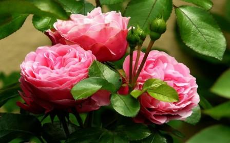 Как выращивать розы в условиях теплицы
