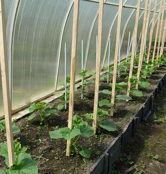 Выбирая томаты и огурцы для посадки, нужно отдавать предпочтение устойчивым к болезням сортам, которые являются ранними