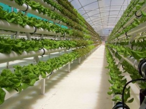 Как правильно посадить овощи в теплице