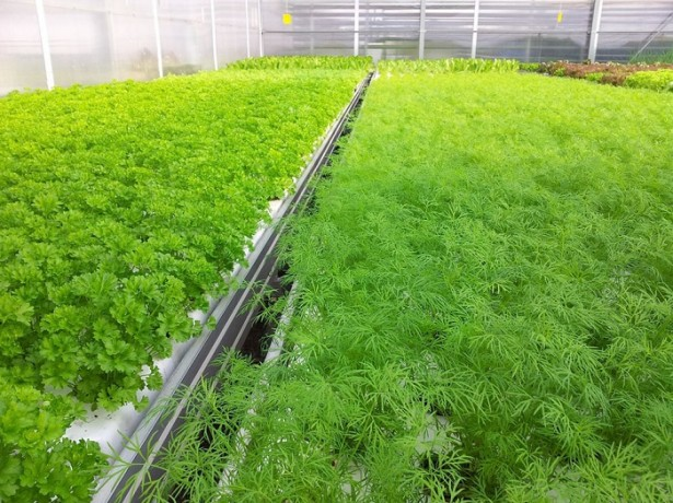 Первый мартовский посев — это ранняя зелень: укроп, салаты, пекинская капуста, лук, чеснок, редис, шпинат