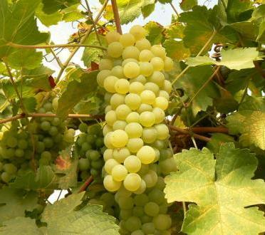 Получить хороший урожай винограда в регионах с суровыми климатическими условиями все же возможно
