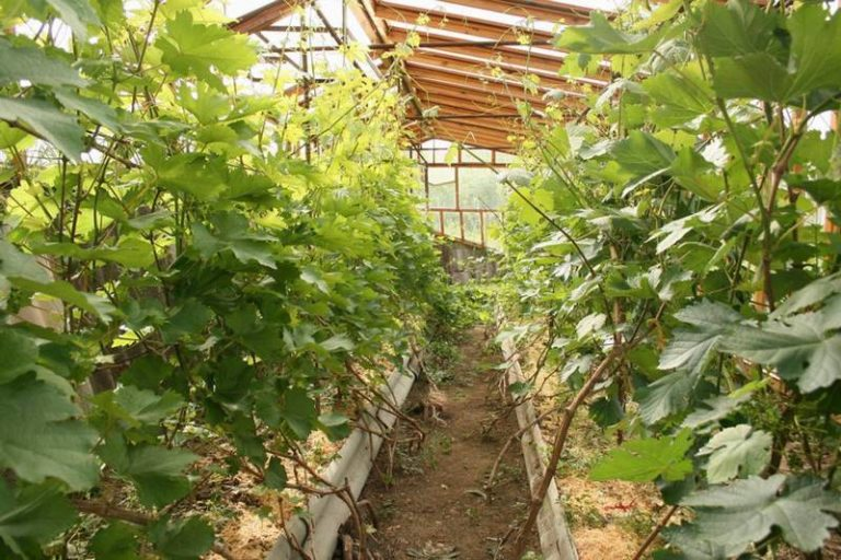 Теплицы в таких регионах, как Урал, Сибирь – частое явление. При помощи таких конструкций жители получают здоровые и свежие овощи и фрукты со своих мини-огородов и садов