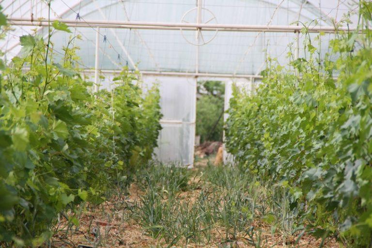 Для выращивания этой культуры в Сибири почву мульчируют