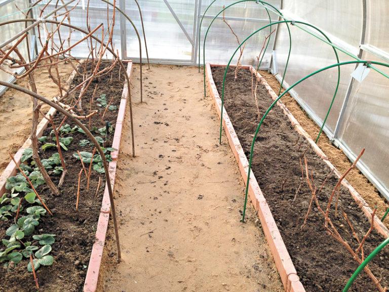 Важным условием выращивания винограда в теплице, является соблюдение температурного режима и влажности в мини-саду