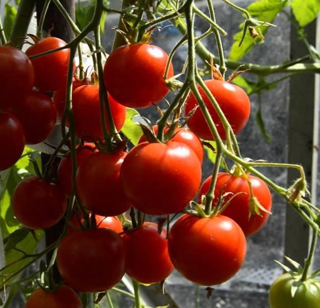 Красная вишня - неприхотливое растение с большим количеством положительных качеств