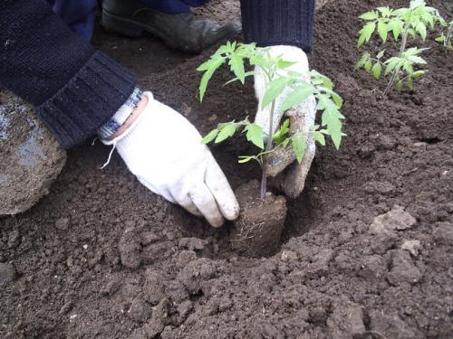 Необходимо знать, как правильно высадить рассаду томатов, чтобы получить вкусный и здоровый урожай