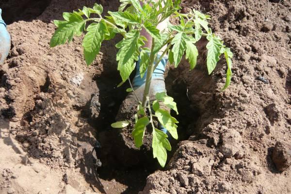 Посадка рассады помидоров в открытый грунт должна осуществляться в тот момент, когда они уже обладают хорошей, развитой корневой системой