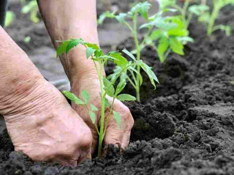 Глубина посадки растения должна быть немного больше, чем была в емкости