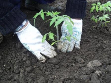 Как высаживать помидоры в теплицу из поликарбоната
