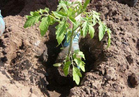 Пересадка помидор в теплицу начинается в конце апреля или начале мая