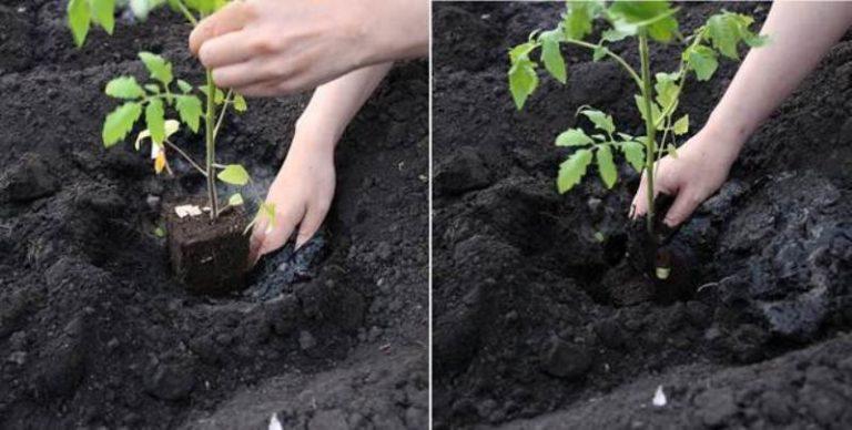 Во избежание зараженности грунта паразитами, а также чтобы не допустить болезней, не рекомендуется высаживать томаты несколько лет подряд на одном и том же месте