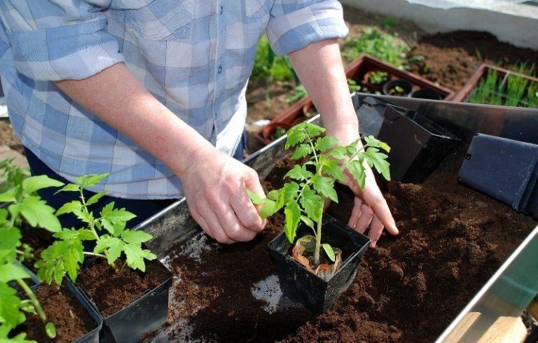 Перед высадкой лунки и корни саженцев поливают водой, прогретой до 25ºC