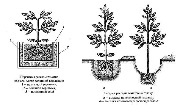 Лунки в открытом грунте для высаживаемой рассады нужно делать правильно