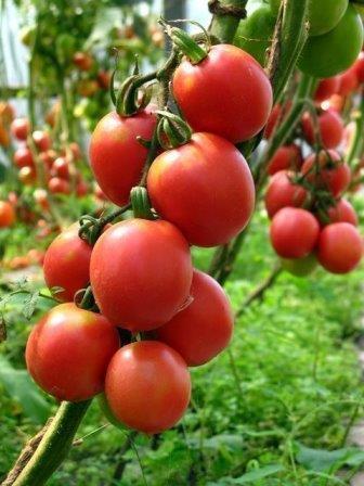 Высокорослые сорта томатов для теплиц дают богатый урожай