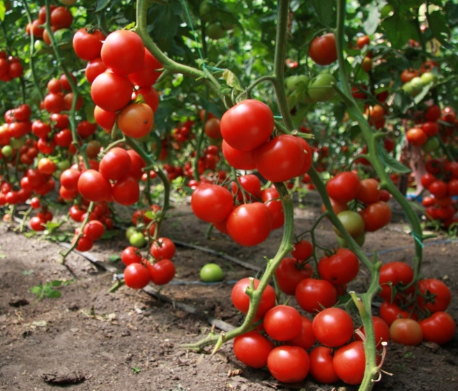 Помидоры. Выращивание томатов. Сорта и рассада 11