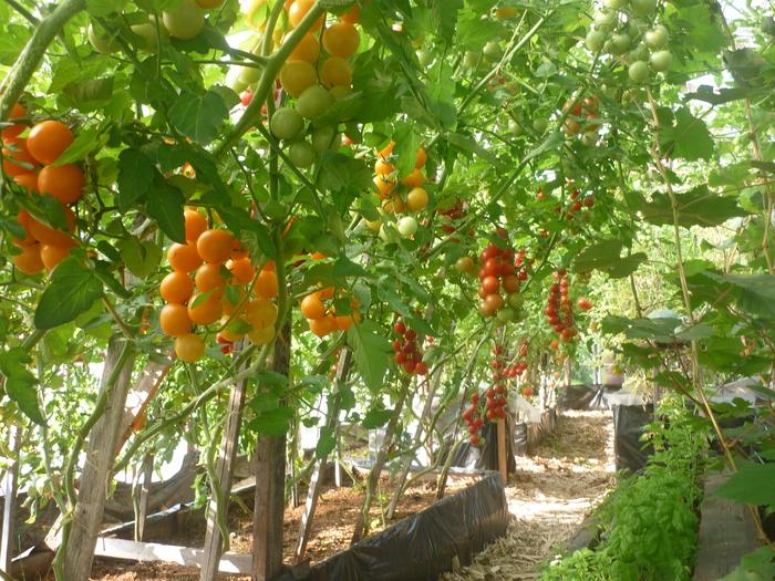 Какие бы высокорослые томаты вы ни выбрали, можно быть уверенным, что урожай будет богатым и не заставит себя долго ждать
