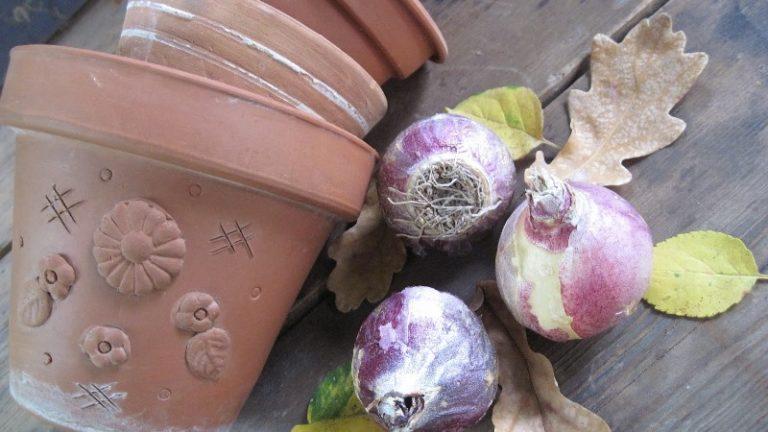 Летом луковицы можно выкопать, подсушить и хранить в прохладном месте 2 месяца