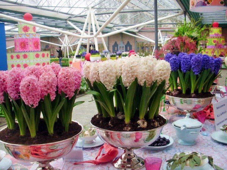 Цветонос, который рос и цвел в кашпо, следует срезать после цветения