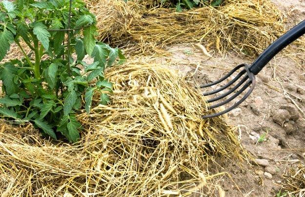 Правильное мульчирование томатов в теплице может значительно упростить жизнь огороднику