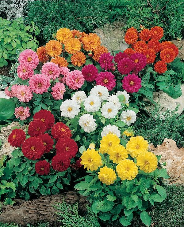 Растения начинают радовать цветами с конца июля и до первых заморозков