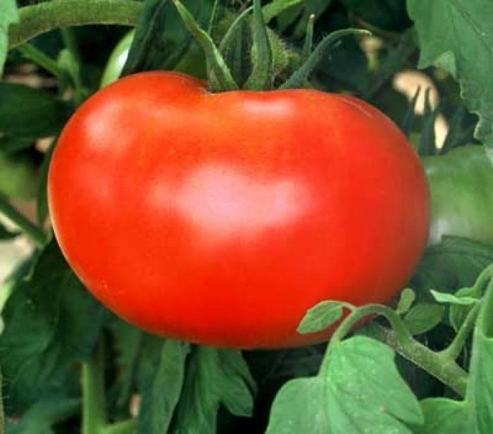 Общая характеристика сорта говорит, что данный вид относится к категории скороспелых культур, так как урожай можно собирать через короткое время после высадки в открытый грунт
