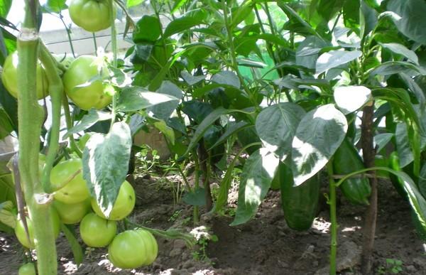 Полезные соседи: что можно посадить в теплице вместе с помидорами
