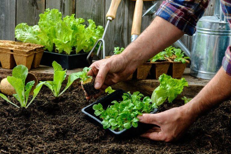 Высаживать салат можно несколькими способами. Первый — это рассада, а второй — семена