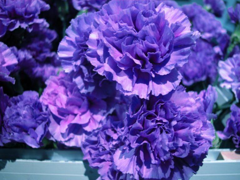 Синие гвоздики — это неприхотливый, красивый и необыкновенно душистый цветок