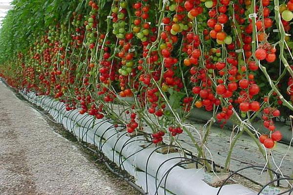 Выращивание томатов на гидропонике не является новым методом