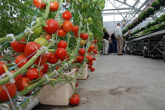 Благодаря гидропонике удается высадить помидоры на имеющемся пространстве