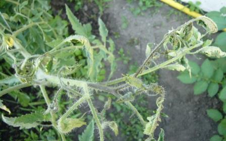 Многие огородники, выращивающие кусты томата, сталкиваются рано или поздно с тем, что верхушка помидор вянет