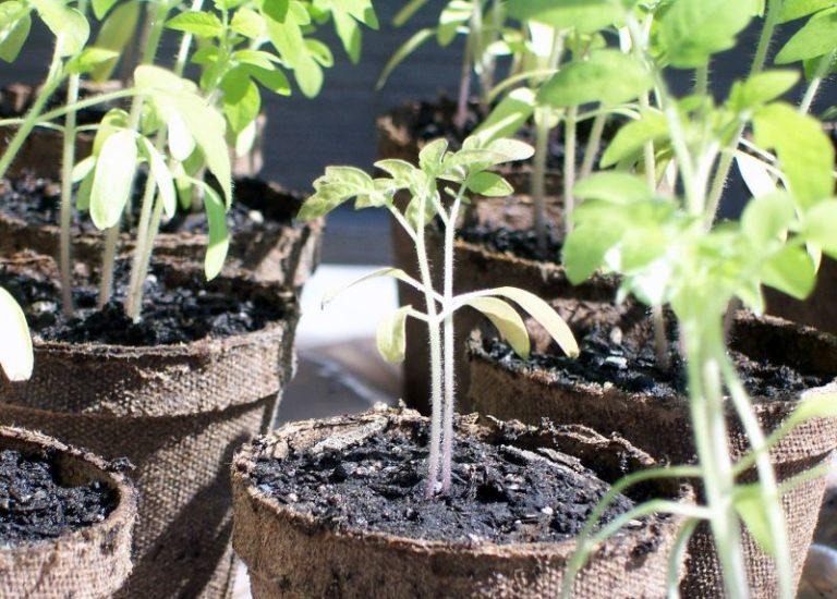 Если обильно поливать помидоры , но при этом освещение не достаточно яркое, то листья растений начнут желтеть