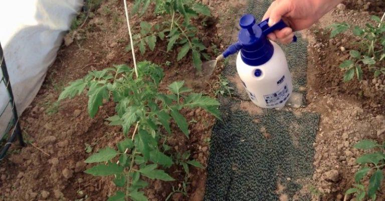 Несмотря на то что томаты относятся к выносливым растениям, но без особого ухода и они могут погибнуть