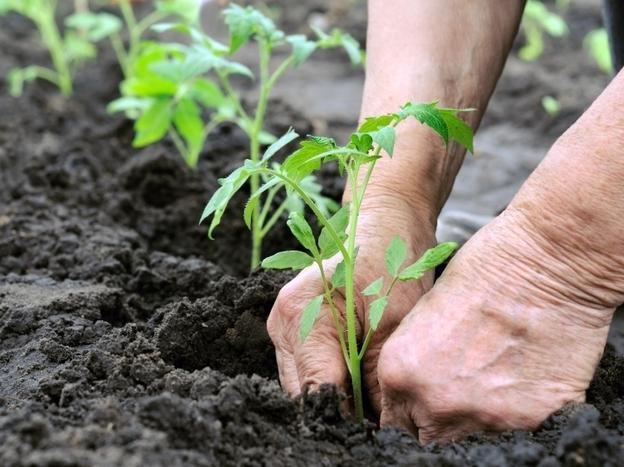 Традиционный способ рядовой посадки предполагает расстояние в 70 см между растениями и в 50 см между рядами